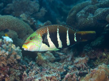 labridae: Barred thicklip in Bohol sea, Phlippines Islands