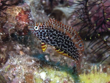 labridae: in Bohol sea, Phlippines Islands Blackspotted wrasse