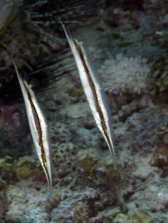 bohol: Razorfish in Bohol sea, Phlippines Islands