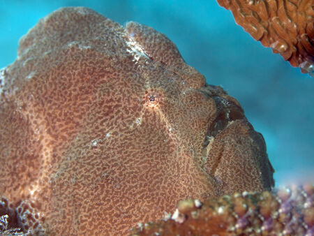 Commersons frogfish in Bohol sea, Phlippines Islands Stock Photo