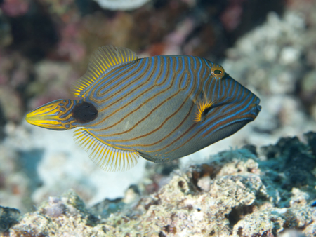bohol: Orange-striped Triggerfish in Bohol sea, Phlippines Islands Stock Photo