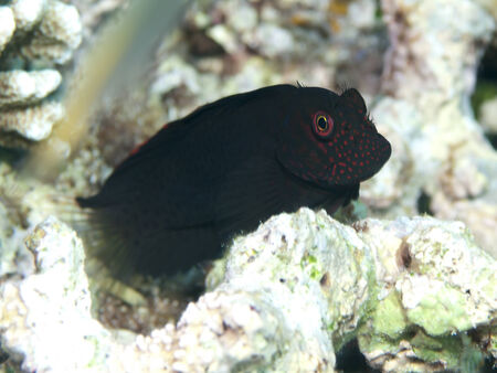 blenny: Springers blenny in Bohol sea, Phlippines Islands Stock Photo