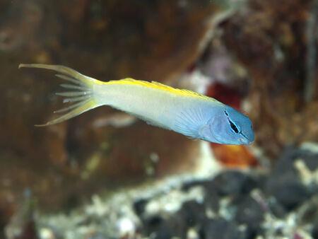 blenny: Forktail blenny in Bohol sea, Phlippines Islands