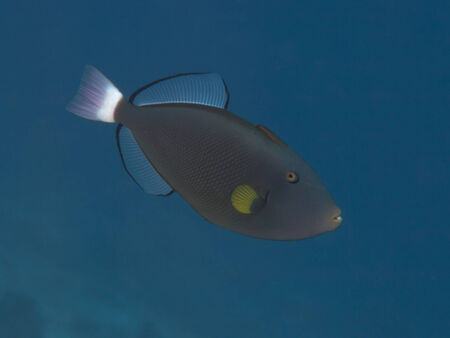 triggerfish: Pinktail triggerfish in Bohol sea, Phlippines Islands