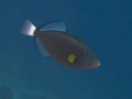 triggerfish: Pinktail triggerfish in Bohol sea, Phlippines Islands