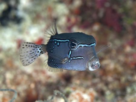 boxfish: Reticulate boxfish in Bohol sea, Phlippines Islands