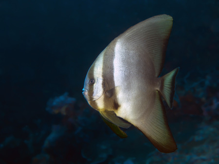 Dusky batfish in Bohol sea, Phlippines Islands photo