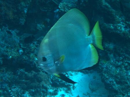 longfin: Longfin batfish in Bohol sea, Phlippines Islands