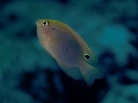 damselfish: Speckled damselfish in Bohol sea, Phlippines Islands