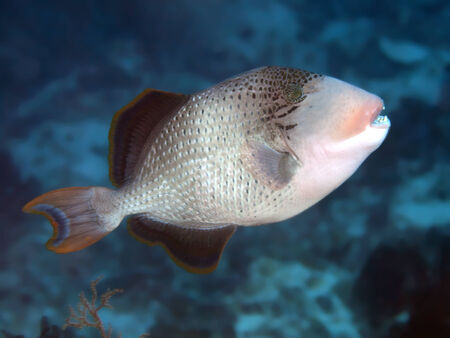 Yellowmargin triggerfish in Bohol sea, Phlippines Islands Stock Photo - 24828367