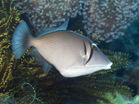 triggerfish: Yellowmargin triggerfish in Bohol sea, Phlippines Islands Stock Photo