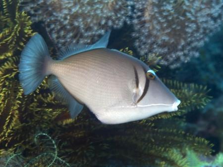 Yellowmargin triggerfish in Bohol sea, Phlippines Islands Stock Photo - 24828371