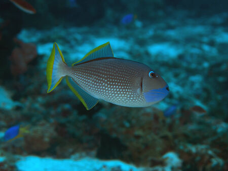 Gilded triggerfish in Bohol sea, Phlippines Islands Stock Photo - 24828376