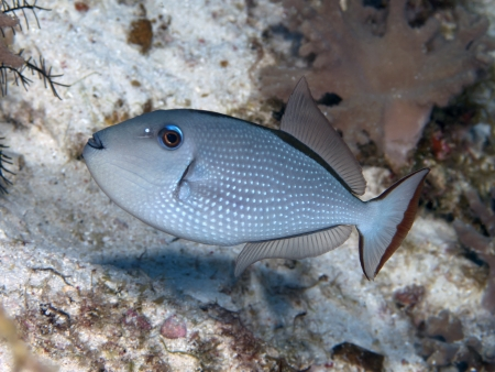 triggerfish: Gilded triggerfish in Bohol sea, Phlippines Islands Stock Photo