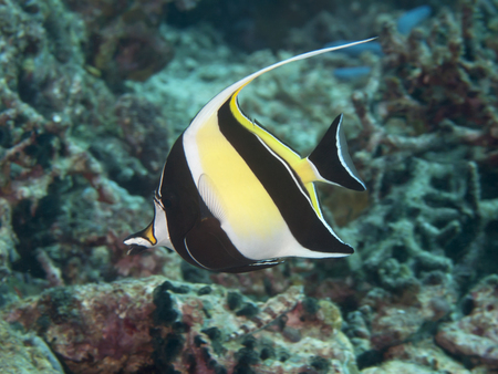 zanclus cornutus: Moorish idol  in Bohol sea, Phlippines Islands
