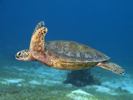 Green turtle in Bohol sea, Phlippines Islands