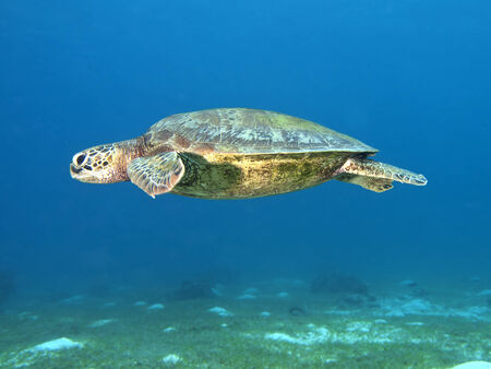 Green turtle in Bohol sea, Phlippines Islands