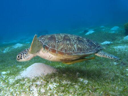 chelonia: Green turtle in Bohol sea, Phlippines Islands