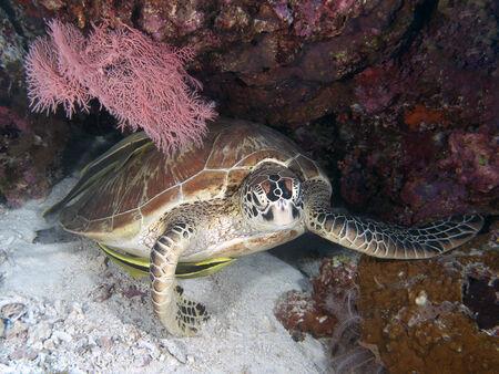 Green turtle in Bohol sea, Phlippines Islands photo