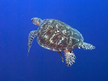 bohol: Green turtle in Bohol sea, Phlippines Islands