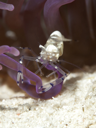 Pacific Clown Anemone Shrimp in Bohol sea, Phlippines Islands photo