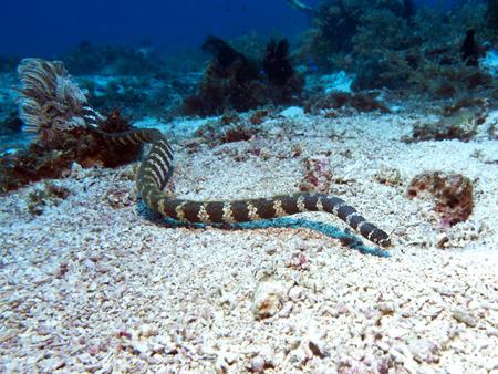 Banded sea krait in Bohol sea, Phlippines Islands Stock Photo