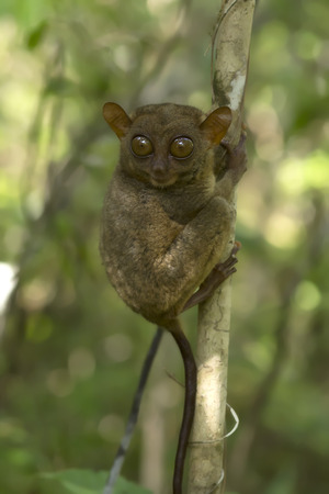 philippine: Philippine tarsier in national park (Bohol, Philippines) Stock Photo