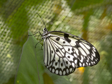 Butterfly Large Tree Nymph in Bohol, Philippines Stock Photo
