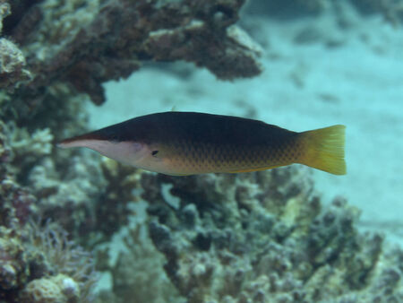 labridae: Green birdmouth wrasse in Red sea, Egypt, Hurghada Stock Photo