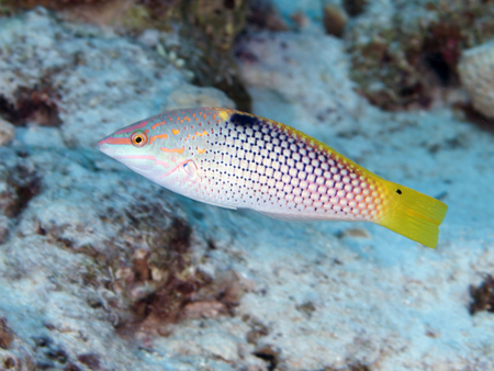 labridae: Chequerboard wrasse in Red sea, Egypt, Hurghada Stock Photo