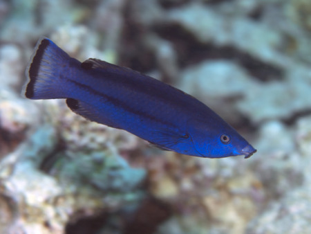 labridae: Fourline wrasse in Red sea, Egypt, Hurghada