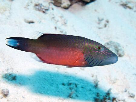 labridae: Bandcheek wrasse in Red sea, Egypt, Hurghada