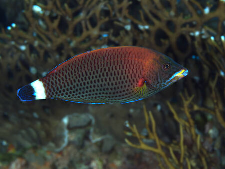 labridae: Chiseltooth wrasse in Red sea, Egypt, Hurghada Stock Photo