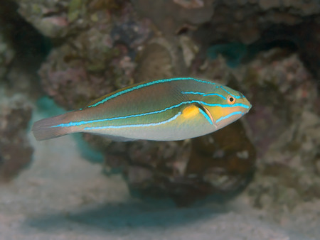 labridae: Bluelined wrasse in Red sea, Egypt, Hurghada Stock Photo