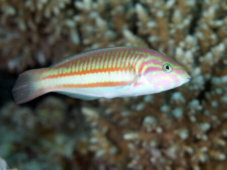 labridae: Klunzinger`s wrasse in Red sea, Egypt, Hurghada