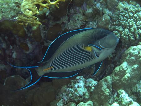 sohal: Sohal surgeonfish in Red sea, Egypt, Hurghada