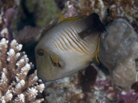 Broom filefish in Red sea, Egypt, Hurghada