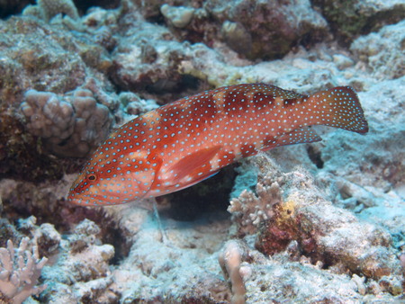 Coral hind in Red sea, Egypt, Hurghada Stock Photo