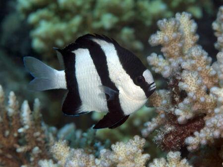 humbug: Humbug dascyllus in Red sea, Egypt, Hurghada