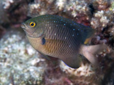 damselfish: Jewel damselfish in Red sea, Egypt, Hurghada