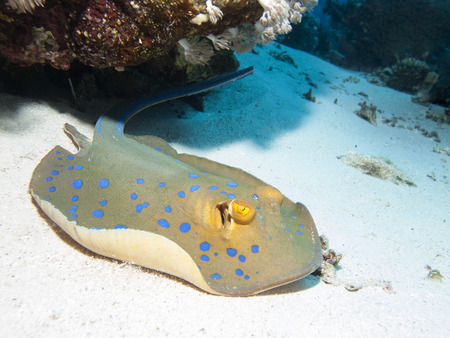 taeniura: Bluespotted stingray in Red sea, Egypt, Hurghada