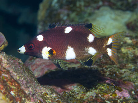 labridae: Axilspot hogfish in red sea