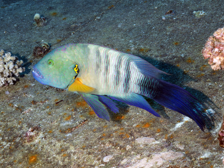 labridae: Broomtail wrasse in red sea