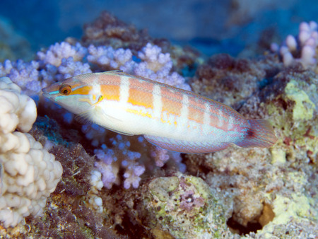 labridae: Tail-spot rainbow wrasse in red sea