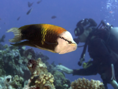 labridae: Singjaw wrasse in Red sea, Egypt Stock Photo