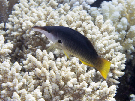 labridae: Green birdmouth wrasse in Red sea Stock Photo