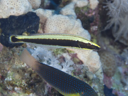 labridae: Ringed wrasse in red sea Stock Photo