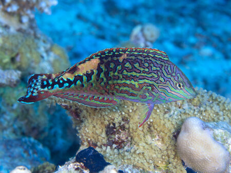 labridae: Vermiculate wrasse in Red sea, Egypt