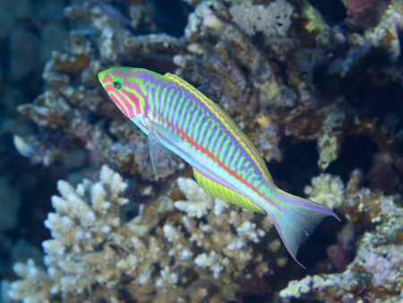 labridae: Klunzinger`s wrasse in Red sea, Egypt Stock Photo
