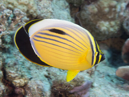 chaetodon: Exquisite butterflyfish in Red Sea